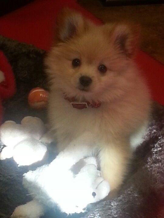 My Pomeranian Chihuahua Mix Puppy Winston Pomeranian Chihuahua