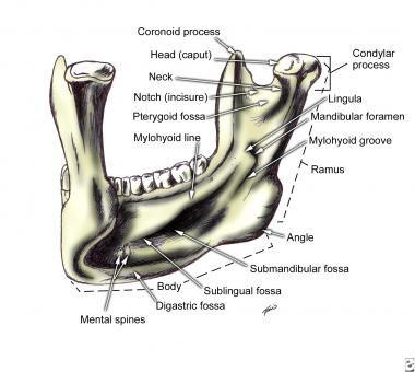 Mandible Left Posterior View Anatoma Pinterest Facial Bones