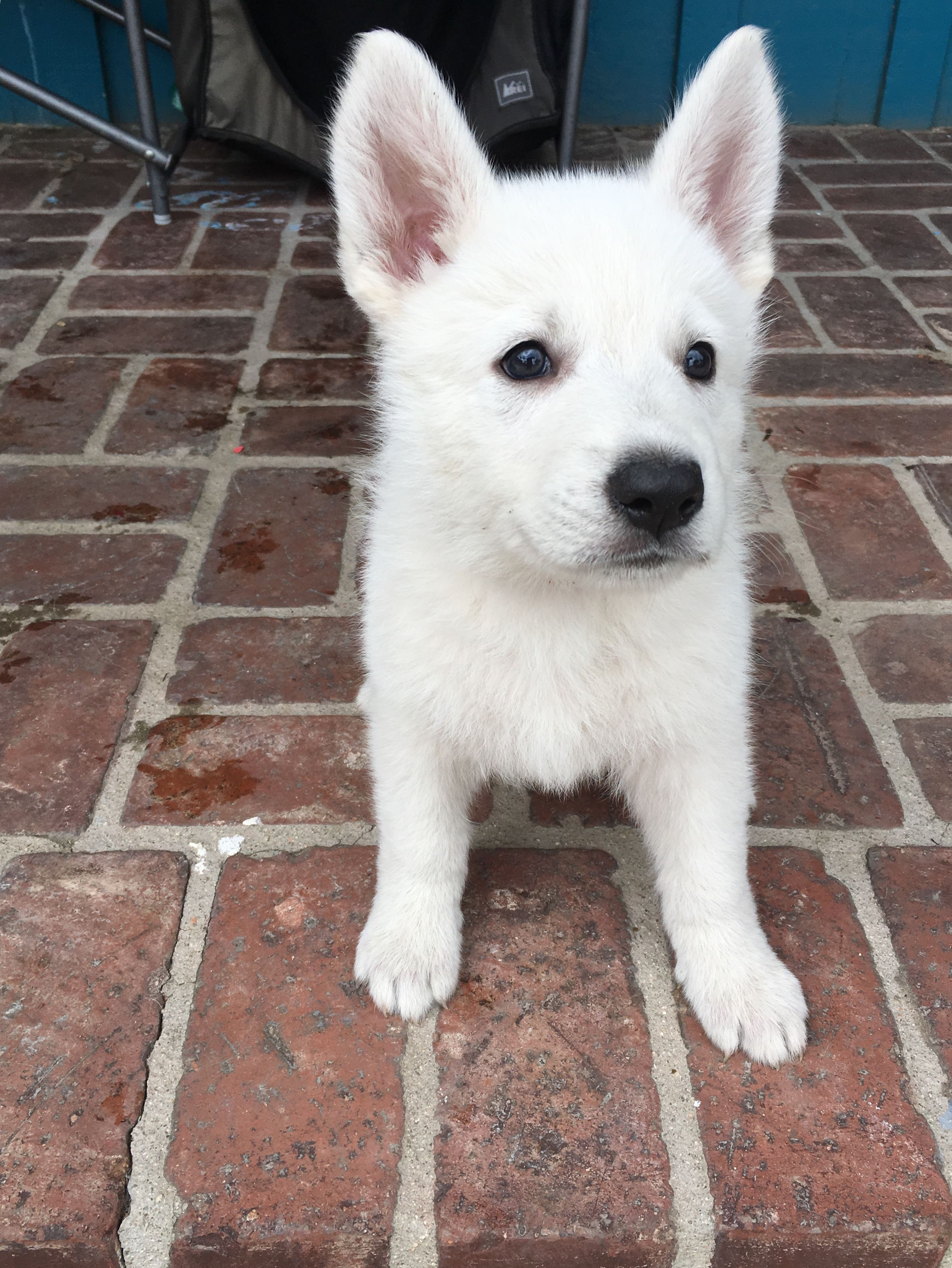 Red Girl A Ukc White Shepherd Puppy For Sale In Fullerton