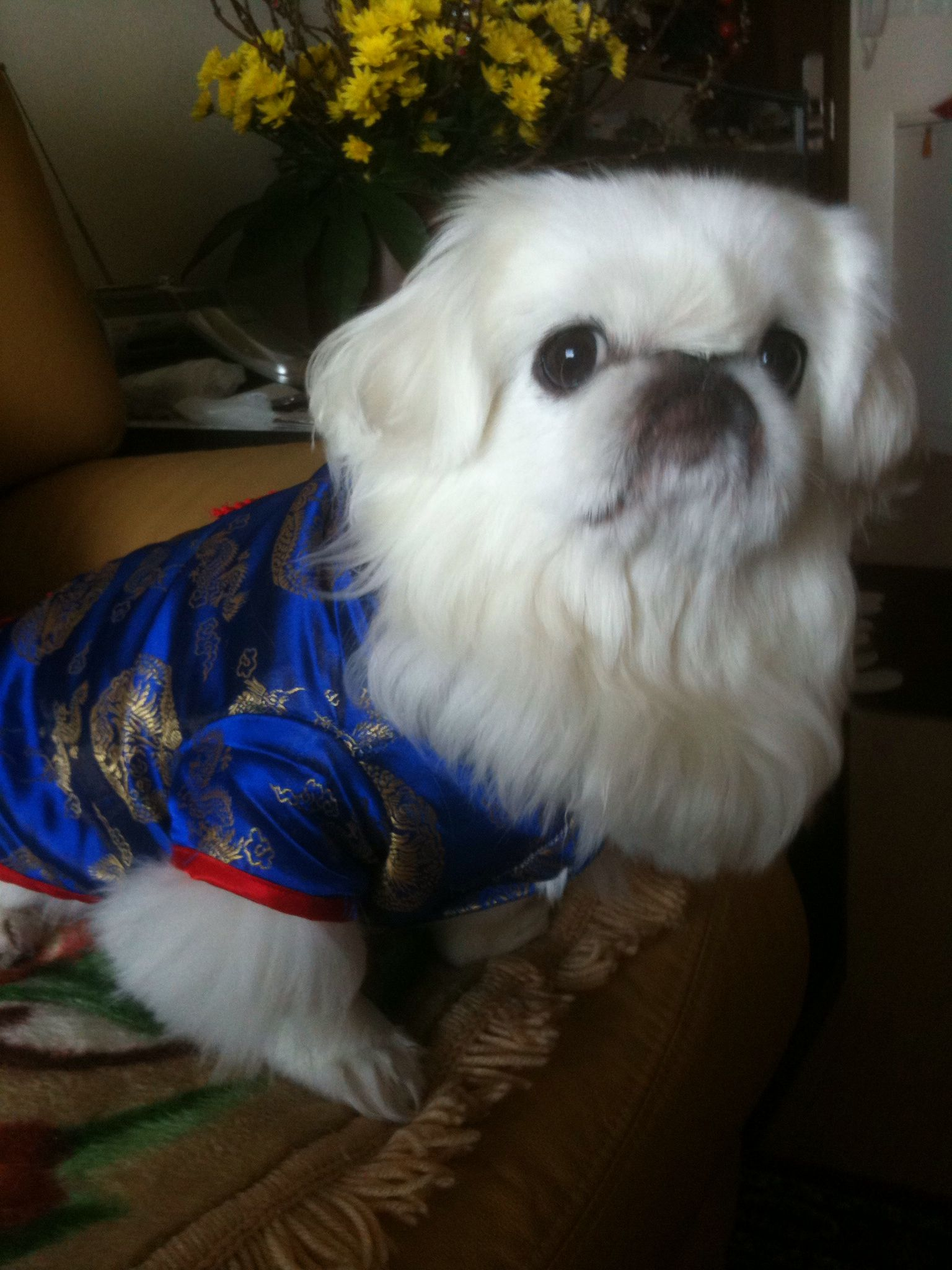 Chaibe The Pekinese Chinese Outfit For Chinese New Year