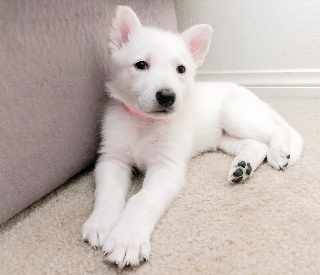 Pin on White German Shepherd Dogs & Puppies