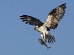 Osprey flying with a fish osprey only eats fish they for Where do flying fish live