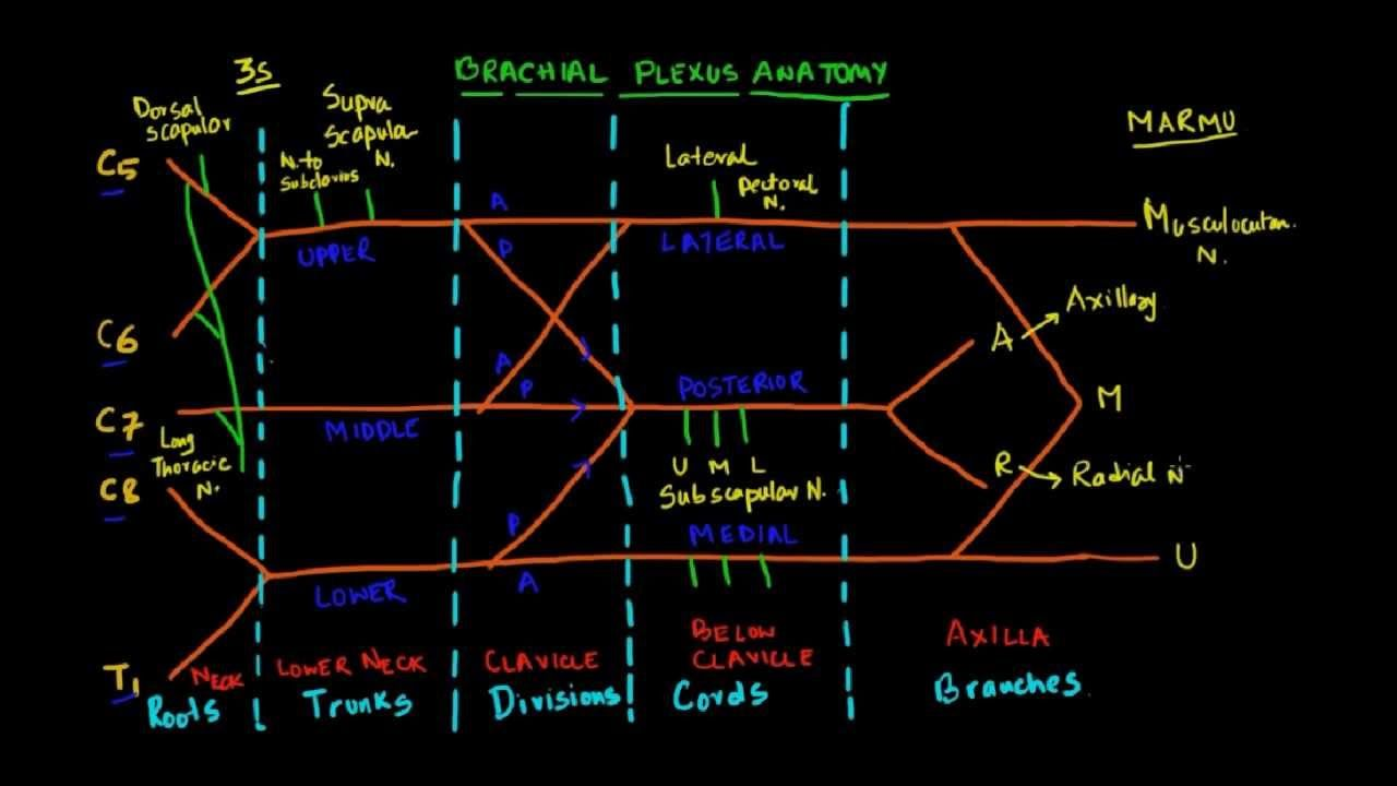 Nugget 7: Draw Brachial Plexus, the easy way! | Teaching Anatomy ...