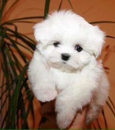 Available Baby Maltese Puppies For Adoption, Cheap Maltese Puppies