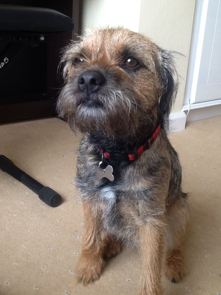 Border Terrier Milo Border Terrier Cute Dogs And Puppies