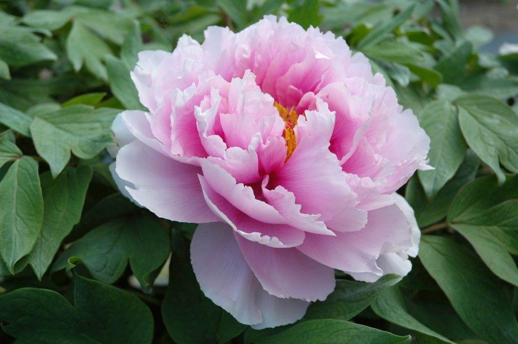牡丹 花 言葉 葉牡丹の花言葉は縁起の良い4つの言葉 誕プレ