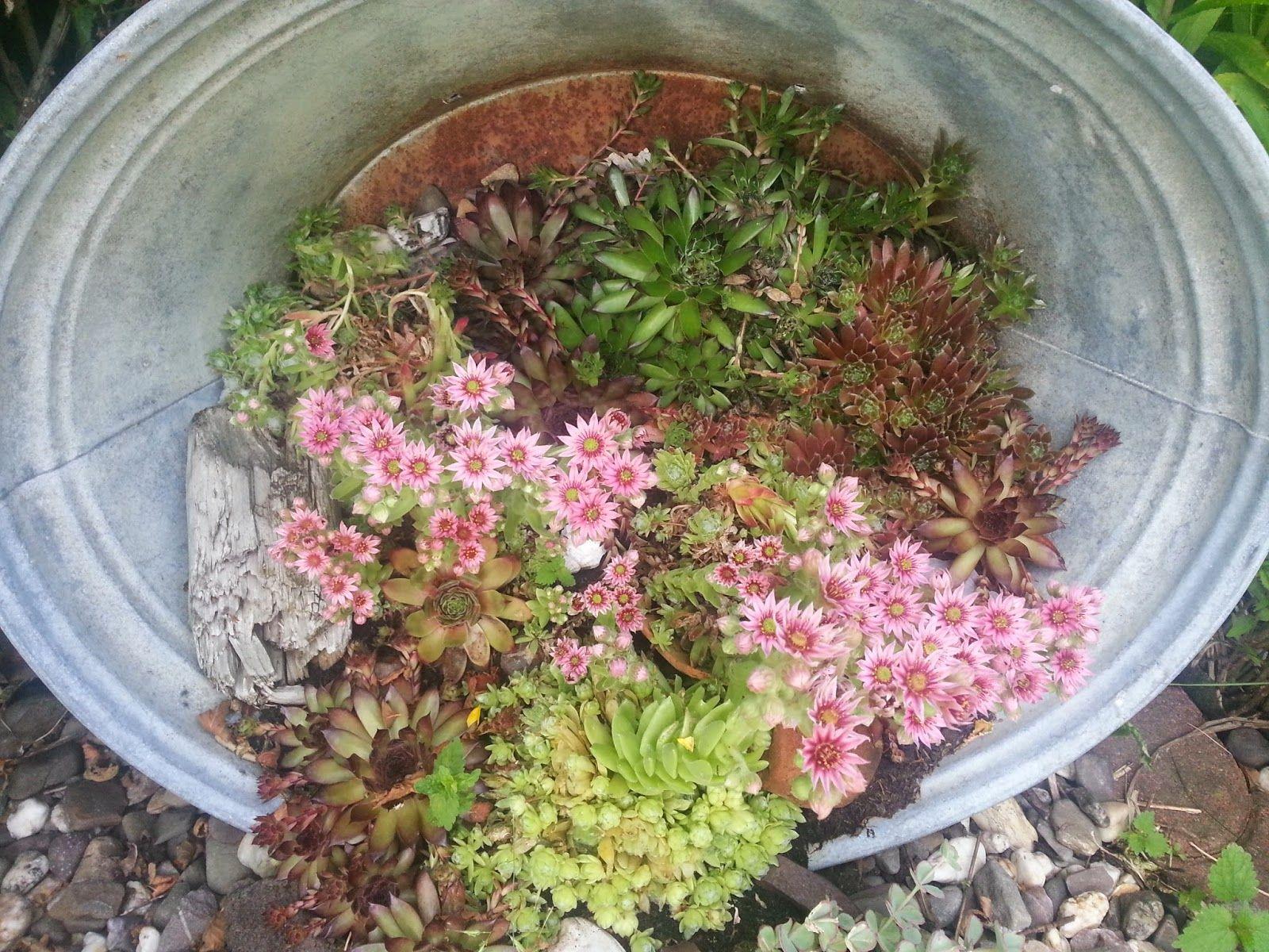 Wochenende und vor dem ertrinken gerettet Garden Zinkwanne bepflanzen, Garten und Garten deko ~ 03164802_Sukkulenten Hauswurz Unterschied