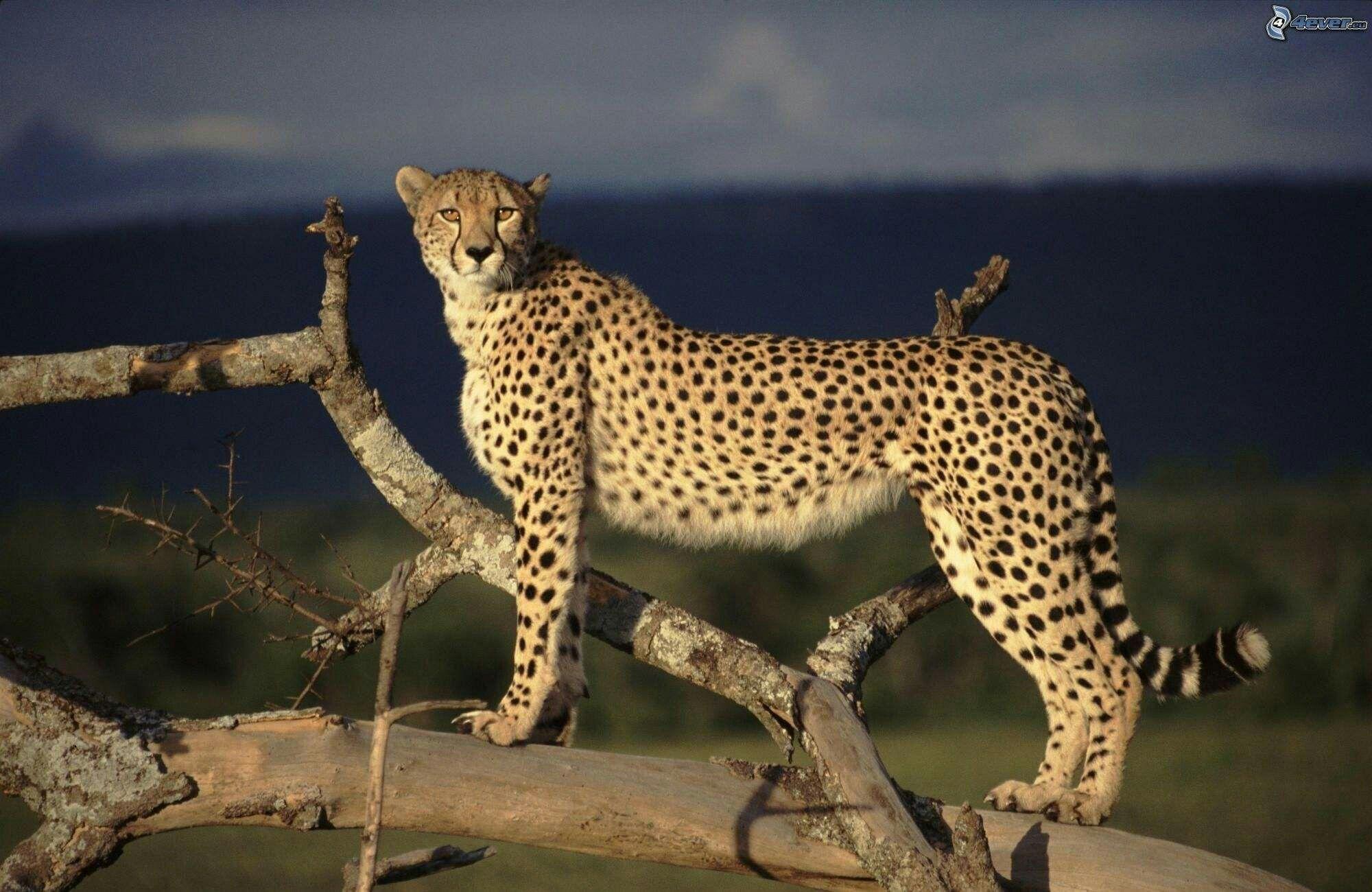 Épinglé par Maryon Preissner sur Guépard (avec images)   Animaux beaux, Animales, Animaux africains