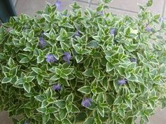 Pianta da balcone sempreverde fiori piante da balcone for Piante sempreverdi