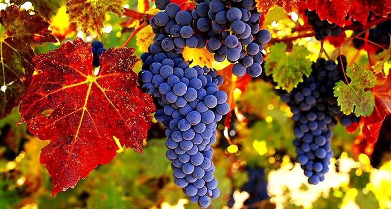 Spain Grape Eating Spaniards Attempt To Stuff Their Mouths With 12 Grapes All At Once One For Each Chime Of The Clock During Grapes Organic Wine Grape Vines
