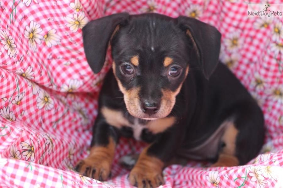 Meet Chiweenies a cute Dachshund, Mini puppy for sale for
