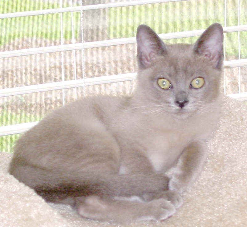 Blue Seal Point Burmese Pets Animals Cats
