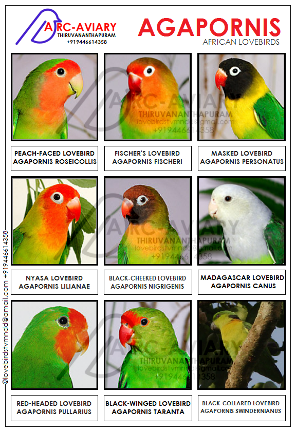 THE OFFICIAL LIST FOR AGAPORNIS (AFRICAN LOVEBIRDS)  | African