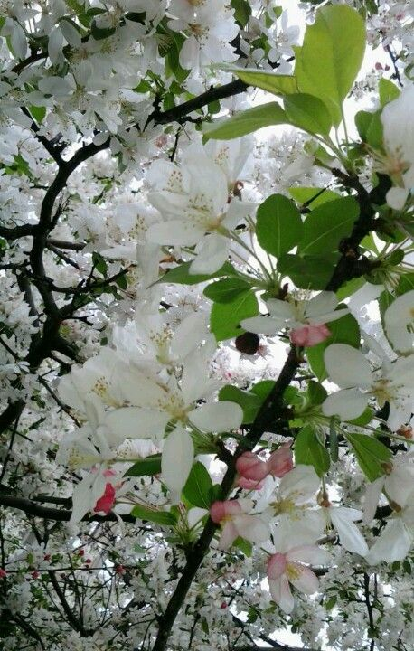 13 Of The Most Colorful Crabapple Trees For Your Yard Crabapple Tree Flowering Crabapple Small Trees For Garden
