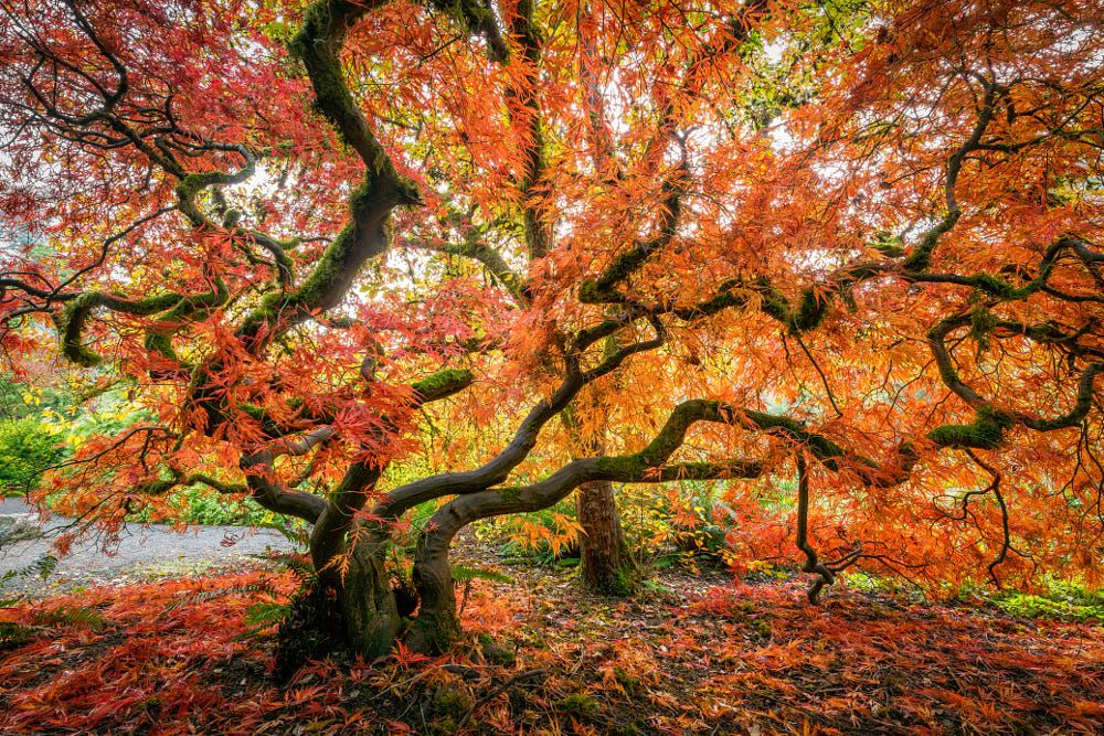 Fall Colors, Japanese Maple, Seattle by Dale Johnson on