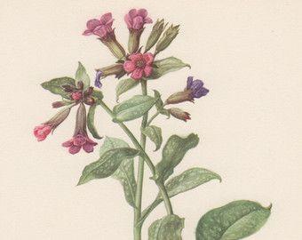 Stampa Botanica Coronilla Securigera varia di AntiquePrintGarden