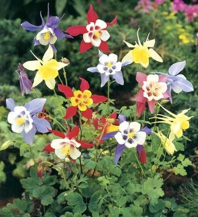 50 PCS Columbine McKanas Giant Seeds Perennial Bright Colors Sow Spring Or Fall