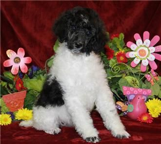 Pin By Renowned Poodles On Poodle Puppies Poodle Poodle Puppies