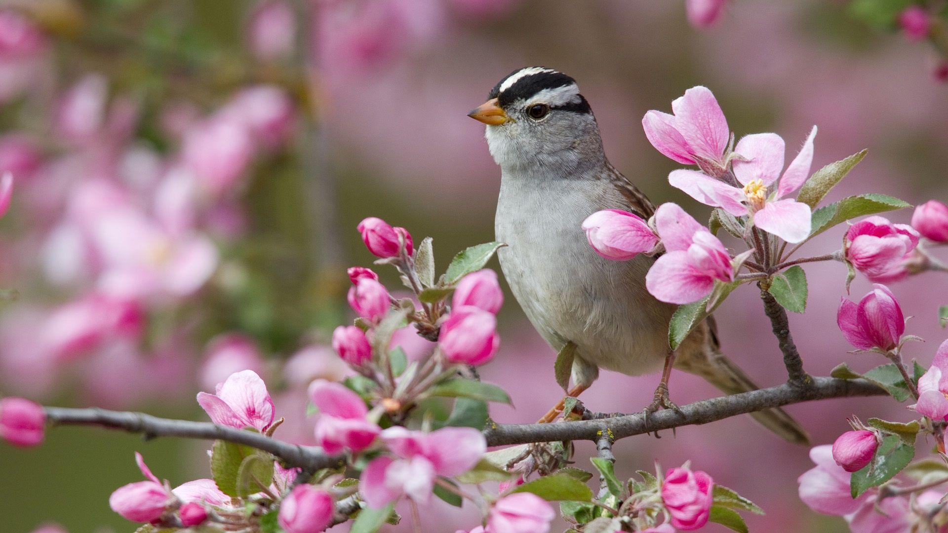 春の桃の花や鳥 壁紙 1920x1080 画像あり 鳥の壁紙 可愛い鳥