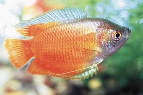 Flame Dwarf Gourami Male Reg Colisa Lalia Red Segrest Farms Aquarium Fish Tropical Fish Discus Fish