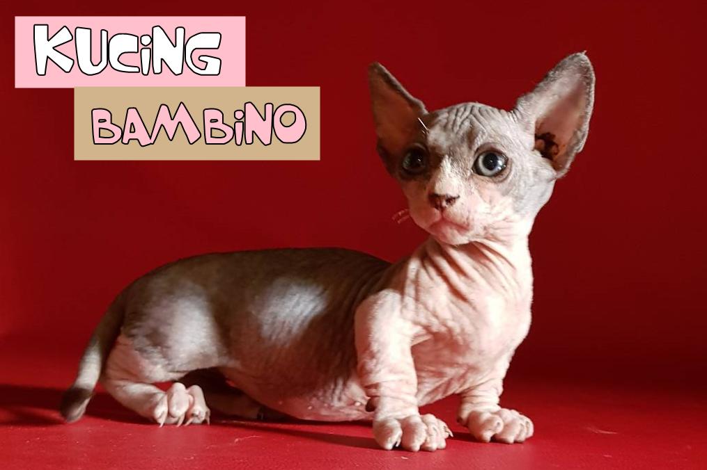 Mengenal Kucing Bambino Kucing Tak Berbulu Dengan Kaki Yang Pendek Kucing Kucing Munchkin Adopsi Kucing