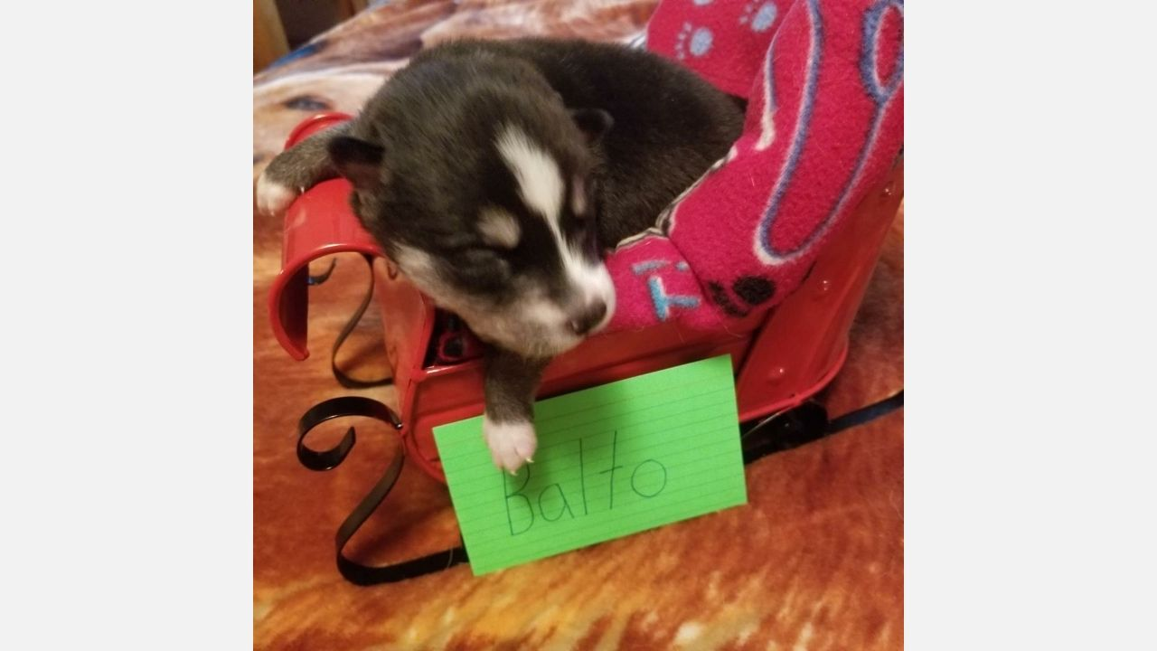 Balto Siberian Husky Puppies For Sale In Houghton Lake Michigan