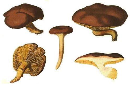 Phylloporus pelletieri