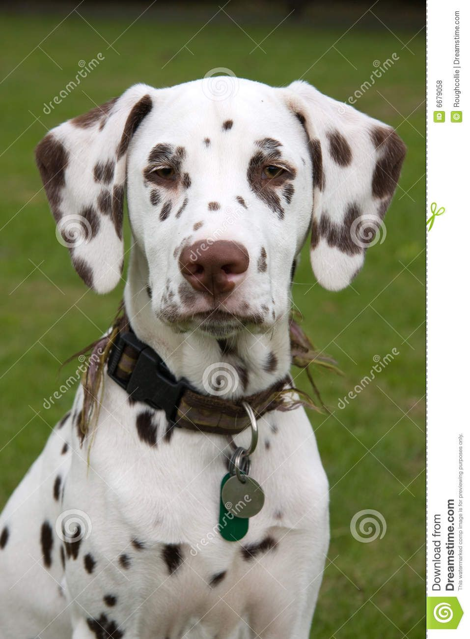 Dalmatian Dogs Dalmatian Puppy Royalty Free Stock Photos Image