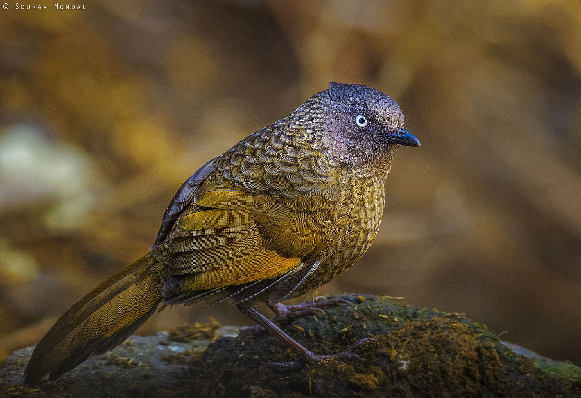 scaly laughing thrush (Trochalopteron subunicolor