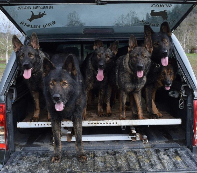 Pictures Of King German Shepherd As Seeing Eye Service Dogs