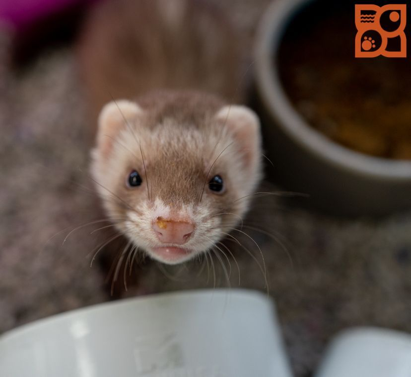 Puppies For Sale With Images Ferret Puppies Fun Facts