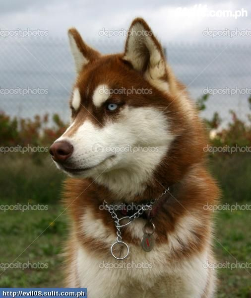 Copper Husky With Images Red Husky Red Husky Puppies Husky