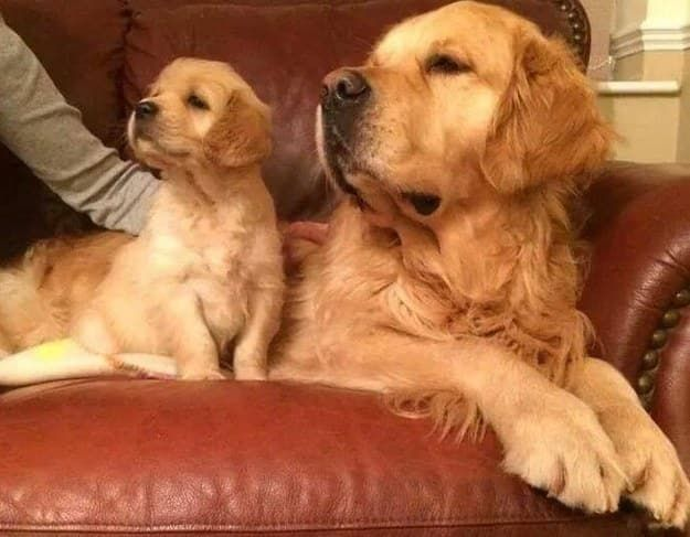 """The 100 Most Important Puppy Photos Of All Time – 84. The """"Like Father, Like Son""""; LOOK AT THIS PERFECT FAMILY AND THEIR MATCHING POSES. AHHHHHHHH. http://www.pindoggy.com/pin/the-100-most-important-puppy-photos-of-all-time-84-the-like-father-like-son-look-at-this-perfect-family-and-their-matching-poses-ahhhhhhhh/"""