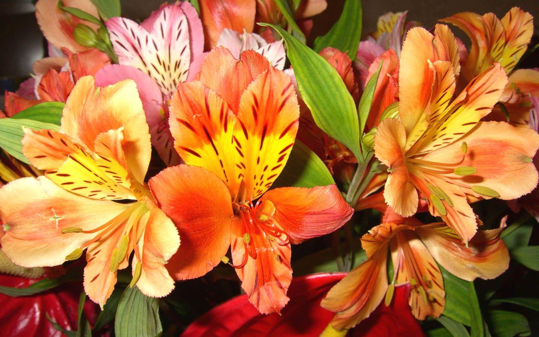 Alstroemeria Or Lily Of The Incas Alstroemeria Beautiful Flowers Garden Flowers