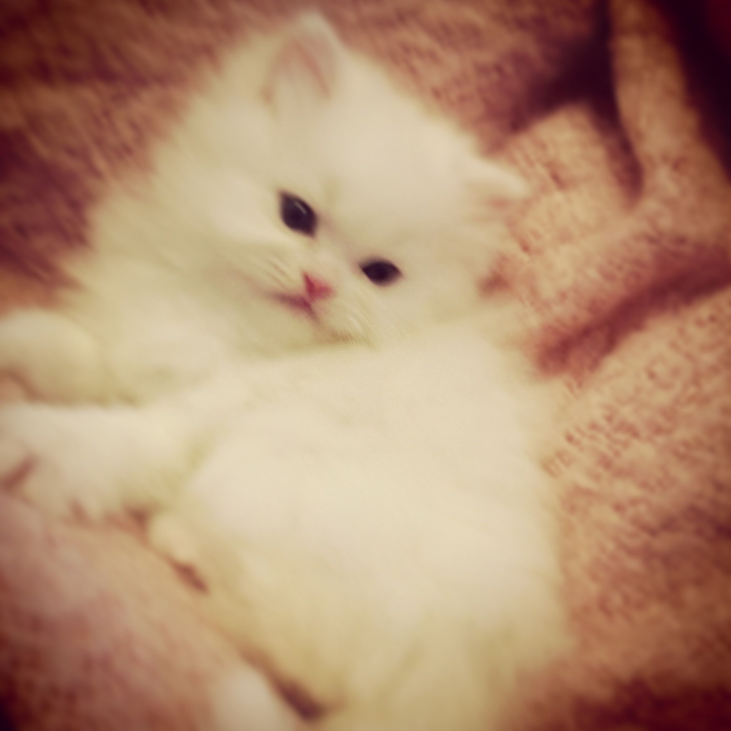 Persian Kittens For Sale Traditional White Doll Face Persian Kitten S Blue And Green Persian Kittens Kitten Images Fluffy Kittens