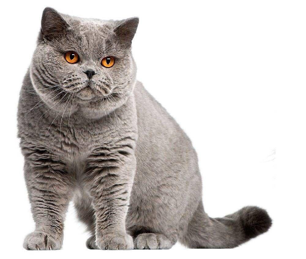 British Shorthair Standing Cats Pinterest