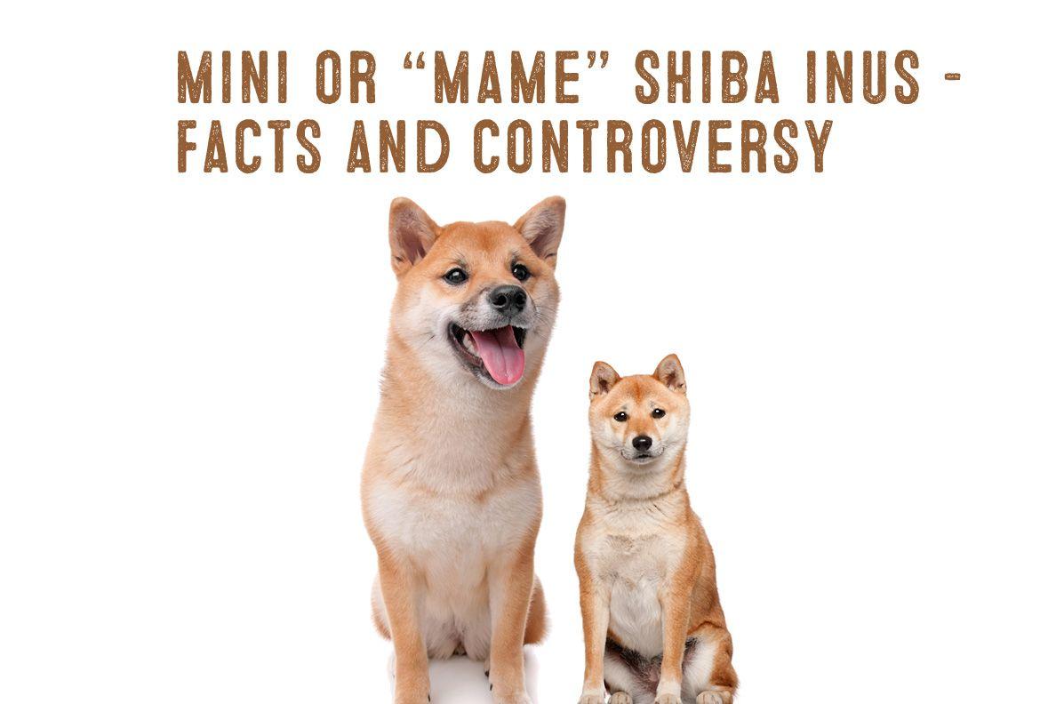 The Mini Or Mame Shiba Inu Facts And Information My First Shiba Inu Shiba Inu Shiba Inu Facts Shiba