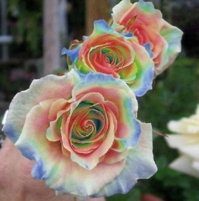 Details about 10 Rainbow Rose Seeds Flower Bush Perennial Shrub Garden Home Exotic Garden #rainbowroses