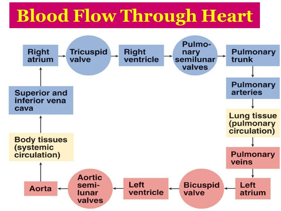 cardiovascular system blood flow chart - Google Search ...