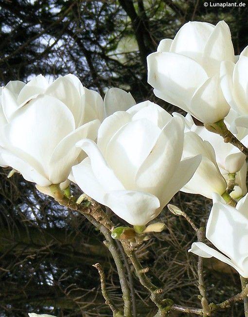 Magnolia X Soulangeana Lennei Alba Havliscz Garden Tree