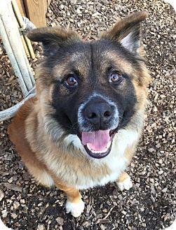 Jarrettsville, MD - Australian Shepherd/Bernese Mountain Dog Mix. Meet Bennie, a dog for adoption. http://www.adoptapet.com/pet/14711364-jarrettsville-maryland-australian-shepherd-mix