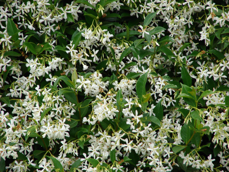 Lovely fragrant jasmine bushes.