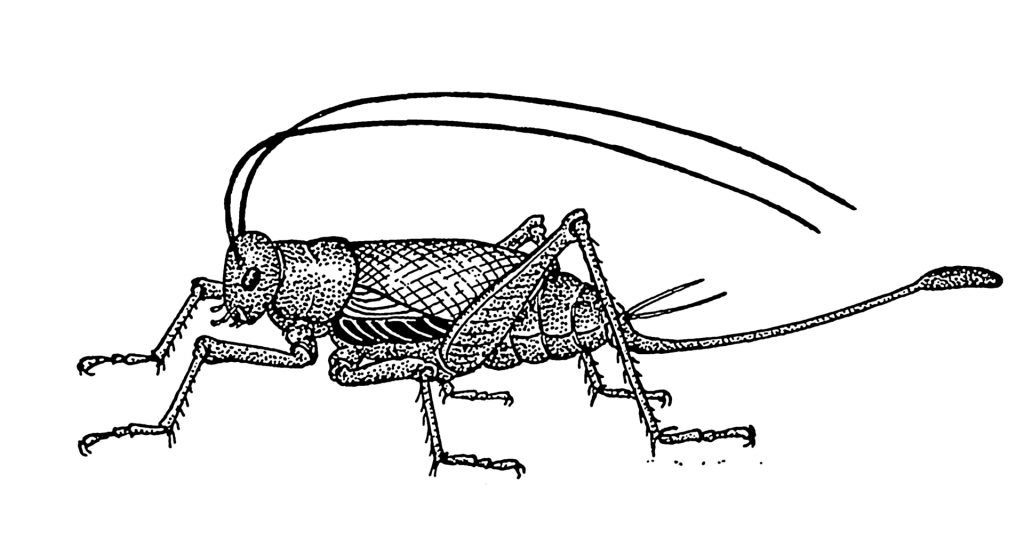 Cricket Psf Insects How To Draw Insects Insect Tattoo
