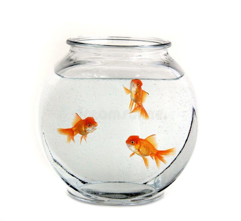 Three Goldfish In A Bowl Three Goldfish Swimming In A Bowl Ad Goldfish Bowl Swimming Ad Goldfish Bowl Image Of Fish Goldfish