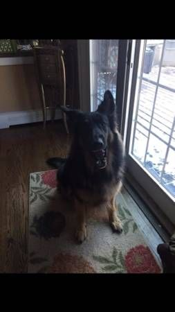 Lost German Shepard Brookhaven Ny Lost Max Is Missing From The