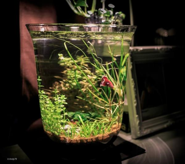 List low tech mini nano pico planted tanks 50 for Fish bowl with plant on top