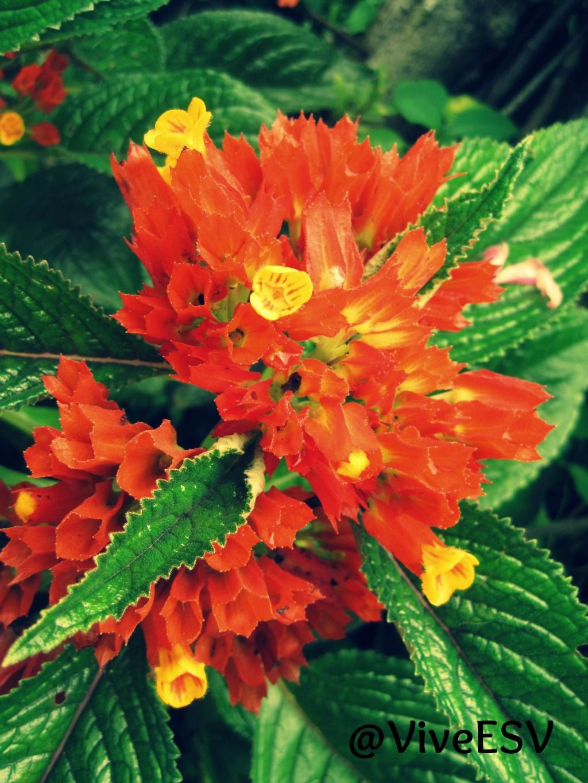 Flora De El Salvador Plants Flowers El Salvador