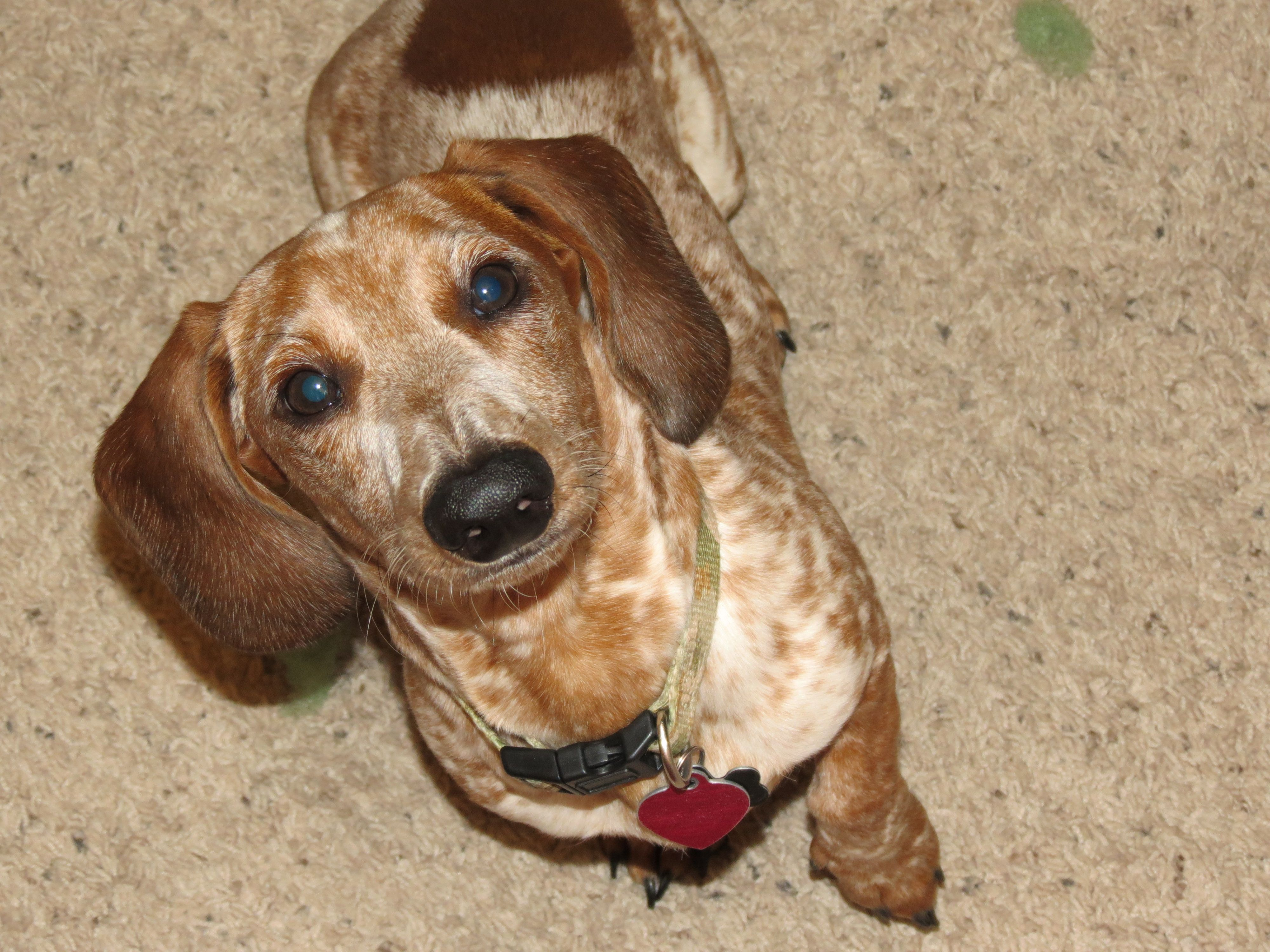 Colby Red Dappled Piebald With Ticking Miniature Dachshund