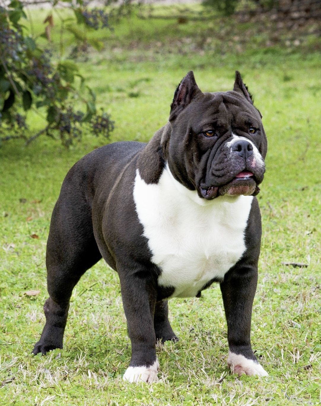 Sable Of Texasbuilt Bullies American Bully Kennels French