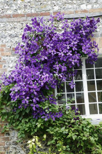 clematis viticella 39 polish spirit 39 how does your garden. Black Bedroom Furniture Sets. Home Design Ideas